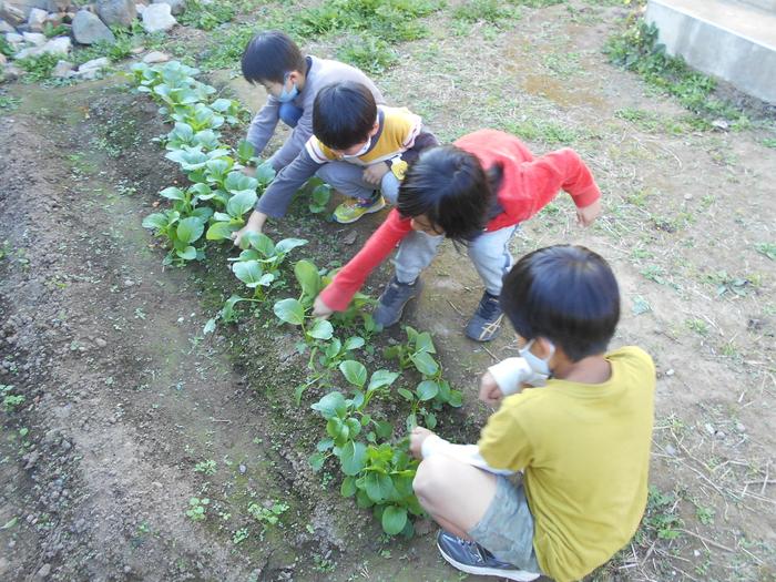 どんぐり小松菜収穫②.JPG