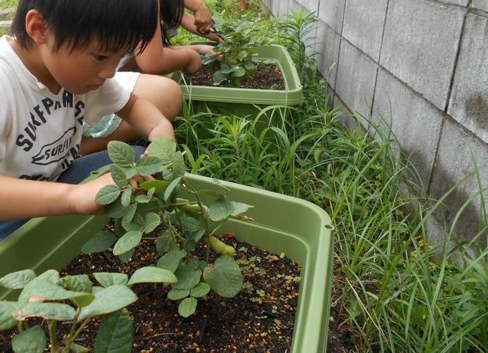 7月枝豆の収穫2.jpg