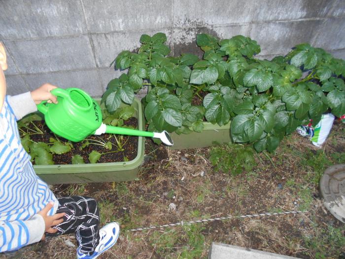 1116冬野菜水やり.JPG
