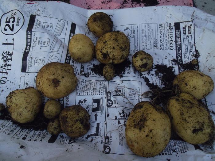 20このはジャガイモの収穫④.JPG
